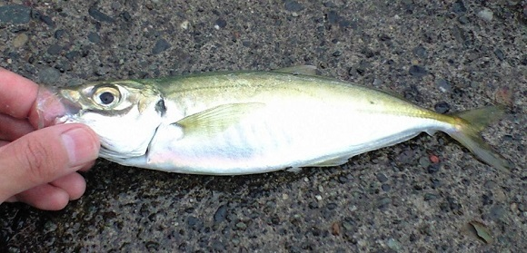 「 チヌ ( 黒鯛 ) 釣り入門 」 0449
