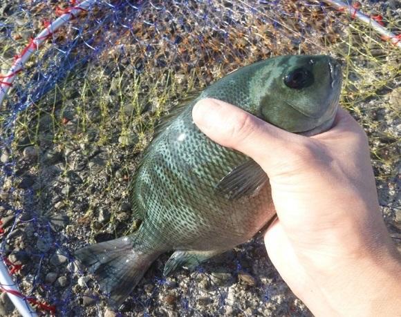 「 チヌ ( 黒鯛 ) 釣り入門 」 0044