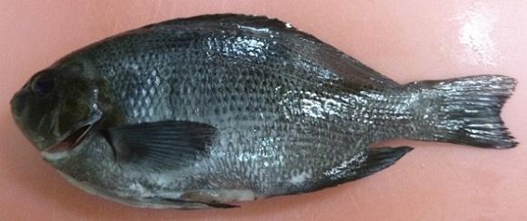 「 チヌ ( 黒鯛 ) 釣り入門 」 0054
