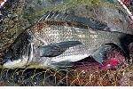 チヌ ( 黒鯛 ) 釣り入門 チヌ ( 黒鯛 ) 釣りの基礎知識.jpg