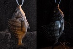 チヌ( クロダイ )のウキ釣り釣行記「 夜釣りで遠浅の海岸リベンジ 」.jpg