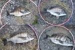 チヌ( クロダイ )のフカセ釣り「 サイズアップを狙う方法とコツ 」.jpg