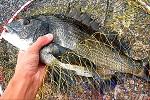 チヌ( クロダイ )の紀州釣り「 初心者さん対応!具体的な釣り方について 」.jpg