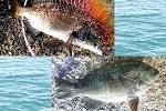 チヌ( クロダイ )グレ( メジナ )のフカセ釣り「 春の堤防釣行記 」.jpg