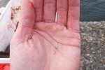 チヌ( クロダイ )釣り「 バラシの意味や原因と回避する対策方法 」.jpg