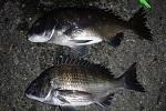 チヌ( クロダイ )釣りの豆知識「 黒鯛に関する雑学とトリビア 」.jpg