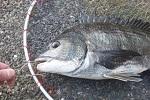 チヌ( クロダイ )釣り釣行記「 白い配合餌で春の乗っ込みチヌ攻略 」.jpg