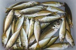 トリック仕掛けで小アジのサビキ釣り釣行記「 釣り方やコツも紹介 」.jpg